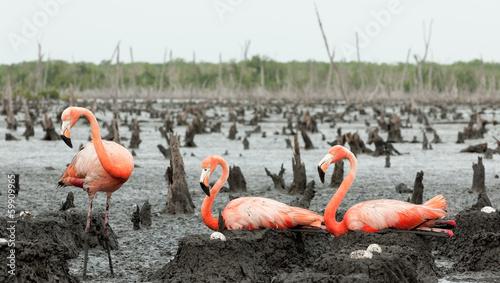 Fotobehang Flamingo Flamingo (Phoenicopterus ruber) colony.