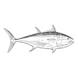 Hand DrawnIllustration of a Blue Fin Tuna