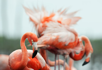 The American Flamingo (Phoenicopterus ruber)