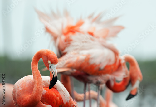 The American Flamingo (Phoenicopterus ruber) © Uryadnikov Sergey
