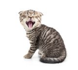 Yawning kitten isolated
