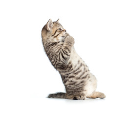 frightened or amazed standing brittish kitten