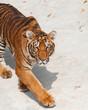 Shot of Tiger
