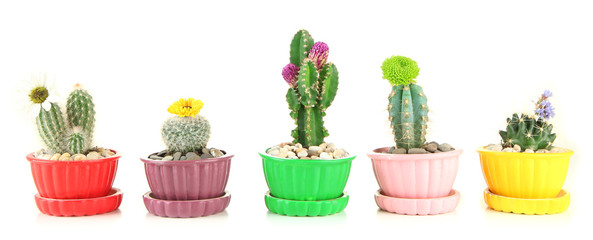 Cactuses in flowerpots with flowers, isolated on white