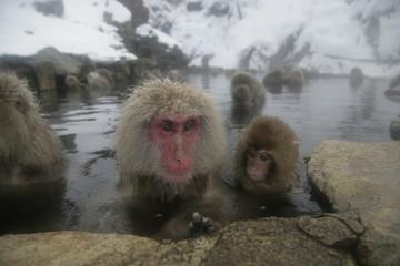 Snow monkey or Japanese macaque, Macaca fuscata