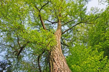 Giant ginkgo tree on sky
