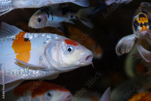 Koi fish in an aquarium
