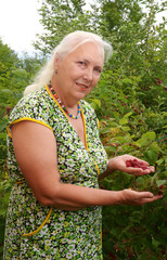 The gray-haired woman harvests raspberries in her garden