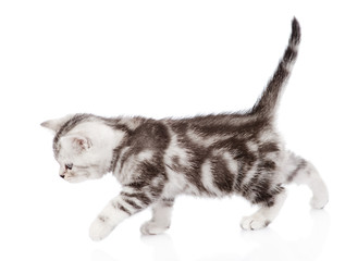 scottish kitten walking. isolated on white background