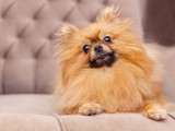 funny and fluffy pomeranian