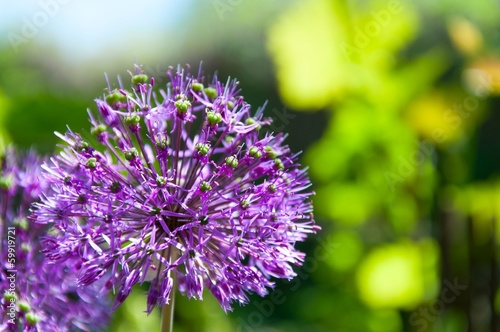 Blossoming Allium