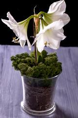 White amaryllis flower on purple table