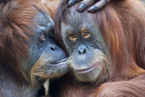 Wild tenderness among orangutan. Mother's kissing