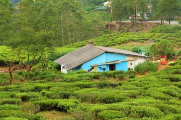 house in tea plantation