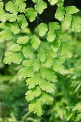 Maidenhair fern,Adiantum Fern
