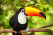 Colorful tucan in the aviary