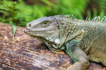 Rhinoceros Iguana (cyclura cornuta) for background use