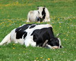 Holstein cows having rest
