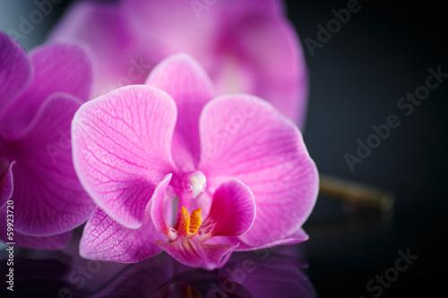 branch Phalaenopsis