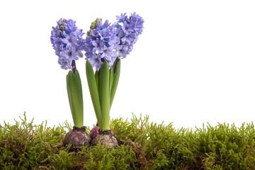 Blaue Hyazinthen im Moos