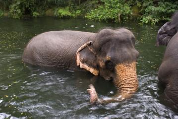 Asian elephants, Singapore