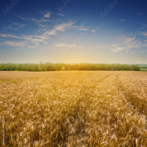 summer wheat field at the evening