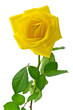 canvas print picture - yellow rose