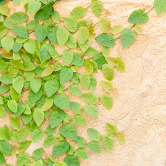 Climbing Green Ivy Background