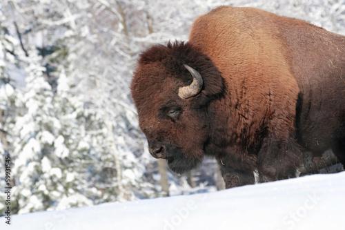 Poster Bison gros bison