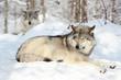 loup gris se reposant