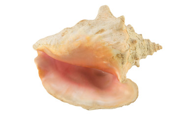 Large seashell isolate