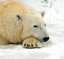 Polar bear in the winter in the north