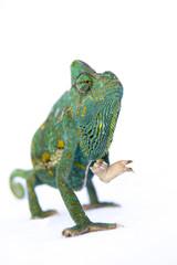 Chamaeleo calyptratus