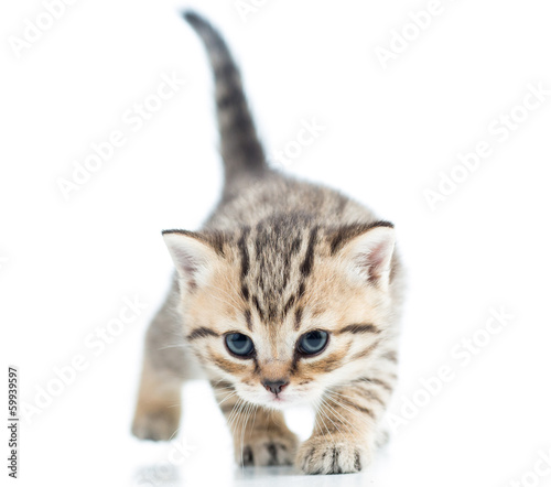 funny walking cat kitten