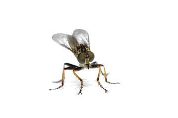Australian robber fly