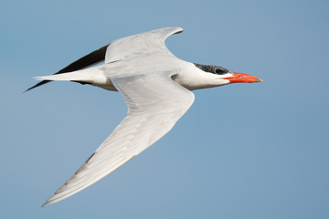 Caspian Tern (Sterna Caspia) in flight