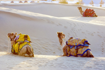 Camels in the Thar Desert, Jaisalmer, India