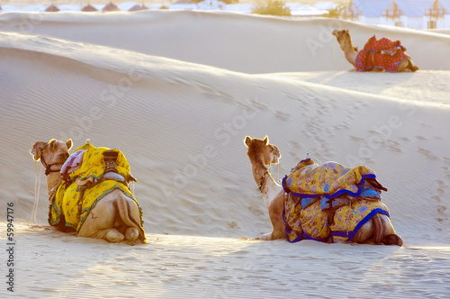 Foto op Canvas Kameel Camels in the Thar Desert, Jaisalmer, India