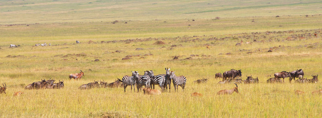 herd of zebras, topis and gnus in the savannah in africa