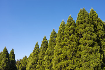 霧島の杉林