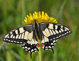 Fototapeta Swallowtail (Papilio machaon)