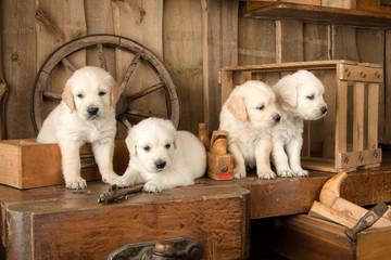 Carpenter Puppies
