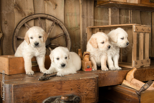 Zdjęcia na płótnie, fototapety na wymiar, obrazy na ścianę : Carpenter Puppies