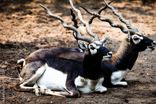 Indian Black Buck Antelope