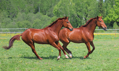 Racehorse twins
