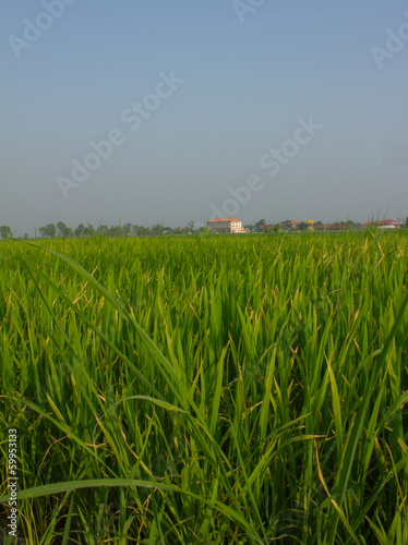 Head rice grow up and near harvest