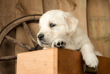 Carpenter Puppy