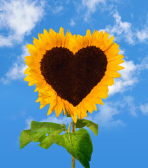 Sunflower head shows a heart-shape