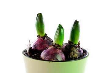 Hyacinth - 03