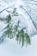 Snowy cedar branch in winter forest